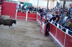 Santacara: Vacas Hermanos Arriazu - Fiestas de la Juventud (1) Goats, Plaza, Animals, Youth, Cows, Siblings, September, Fiestas, Animales