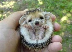 why is this so cute? the size, the eyes, the ears, the feet, the hint of a hedgehog smile... adorable!