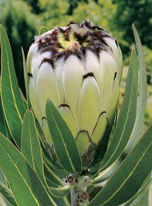 Protea neriifolia Cream Mink Rare Flowers, Flowers Nature, Exotic Flowers, Tropical Flowers, Amazing Flowers, White Flowers, Protea Art, Protea Flower, Australian Native Garden