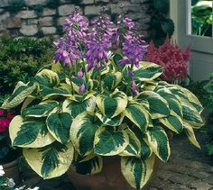 "Wide Brim Hosta -The medium green leaves have wide, irregular pale green to white margins and interesting puckering that adds texture to the shade garden. Zones: 3, 4, 5, 6, 7, 8, 9 Plant Size: 16-24"" tall, 32-36"" wide"