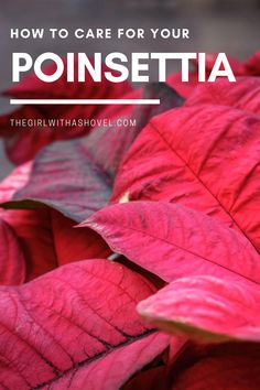 Have you bought your holiday poinsettia yet?!?! Check out this post to find out EXACTLY what you should look for, as well as what you should do to help your poinsettia stay healthy and alive for the entire holiday season! #poinsettia #holidaydecor Best Indoor Plants, Cool Plants, House Plants Decor, Plant Decor, Poinsettia Plant, All About Plants, Apartment Plants, Bedroom Plants