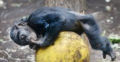 20160805 - Filhote de chimpanzé brinca com uma bola no zoológico, em Frankfurt, Alemanha Imagem: Michael Probst/AP