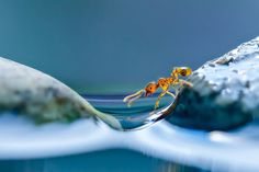 A macro view of an ant attempting to cross stones on a pond in Obihiro, Japan. Animal-Lover Miki Asai has gone a step beyond feeding bread to the ducks – by syringe-feeding water to tiny ants. The office worker from Obihiro City, Japan, squirts droplets near the tiny insects and then uses a macro lens to capture quenching their thirst. The amateur photographer started capturing these images near her house in July 2013 after spotting an ant struggling in the rain. (Photo by Miki Asai/Barcroft…
