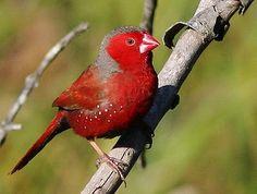 Crimson Finch (Neochmia Phaeton) from Australia {a.k.a., Australian Firefinch, Crimson, White-bellie crimson finch, Pale crimson finch, Pheasant-tailed finch}