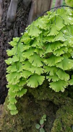 Avenca uma das minhas preferidas.Muito delicada. Ferns Garden, Shade Garden, Fern Plant, Trees To Plant, Tropical Garden, Tropical Plants, Beautiful Gardens, Beautiful Flowers, Maidenhair Fern