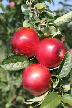 Jonamac - Description  McIntosh-type apple that is medium in size with 90% dark red color. Fruit is firm and crisp, ripening just ahead of McIntosh. Tree is medium-sized, very productive and an annual bearer. Jonamac is suggested as a pollinator due to its extended bloom period and apparent tolerance to fire blight. Pollination Information Jonamac is an early blooming variety and can pollinate all other early blooming apple varieties as well as varieties with mid-season bloom times.