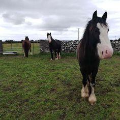 Chester, Cow, Horses, Friends, Animals, Amigos, Animaux, Boyfriends, Horse