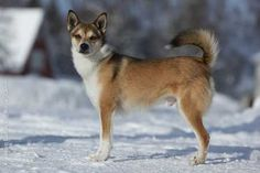 Norwegian Lundehund - a breed with 6 toes that was developed for hunting puffins.
