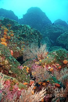 ✯ Gorgonian fans and Orange Cup Coral (Tubastrea coccinea) on rocky seabed, Wolf Island, Galapagos Islands, Ecuador