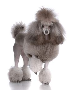 the traditional / fancy poodle cut