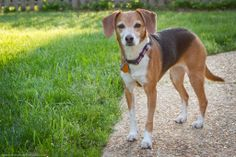 Beagle/Whippet Mix - what a beauty!