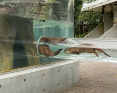 Otters Zoom In and Out of Their Ottertube 2- Tobe Zoological Park, Japan