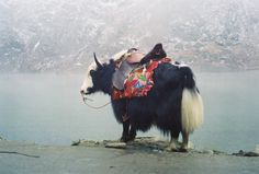 Domestic yak in Nepal. Yak Image, Nepal, Wyoming, Amazing Beasts, The Things They Carried, Vogue Photo, Photo Archive, Tibet, Continents