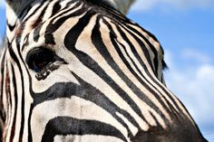 zebra profile   Zebra Profile   Free stock photos - Rgbstock -Free stock images ...