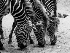Free Photo: Zebras, Animals, Black And White - Free Image on Pixabay - 471855