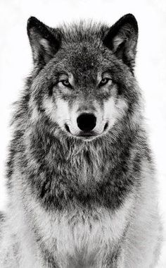 an actual wolf, this is the view that i want but i want a different expression: enigmatic with bigger eyes but still very serious
