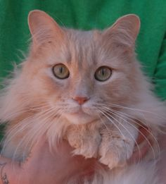 Biggy is an angelic boy who adores people and cats, and he is reportedly compatible with calm dogs and mature kids too.  Biggy is a remarkably attractive cream tabby, medium-hair with a leonine appearance, 10 years of age, neutered, and ready for adoption at Nevada SPCA (www.nevadaspca.org).  Playtime doesn't interest him much, but snuggling gently at your side gives him great contentment.  Biggy needed us reportedly because a member of his previous family was allergic to him.
