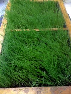 growing wheat grass