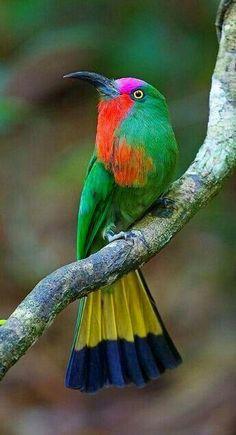 El abejaruco barbirrojo (Nyctyornis amictus) es una especie de ave coraciforme de la familia Meropidae que vive en el sudeste asiático. M.M.