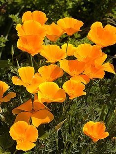 Grow Old-Fashioned Favorites  Botanical gardens are a great place to see new varieties. But also keep an eye out for old-fashioned favorites that have a proven track record in your area. California poppy, for example, is often underused in gardens even though it blooms profusely and is delightfully drought tolerant.