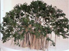 Large Banyon Tree