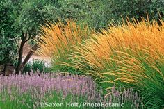 Saxon Holt Photography - Calamagrostis acutifolia, Lavandula, Olea Europa - Why this works: complementary color and similar forms