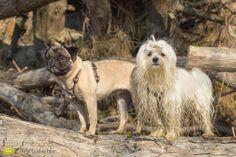 hund, dog, pug, malteser, maltese, mops