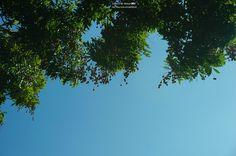 20140918【中興新村第四天:結實累累的龍眼樹】 早安,今天也是晴空萬里的豔陽天, 想必中興新村那也是差不多的好天氣吧~