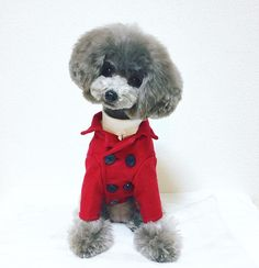 #dog #dogstagram #poodle #ティーカッププードル #teacuppoodle #dogs #dogstagram #doggies #ふわもこ部 #ilovedogs #doggie #doggy #トイプードル #プードル #instadog #dog #dogoftheday #cutedog #シルバープードル #silverpoodle #多頭飼イ