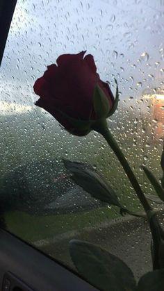 Rose on raining mirror