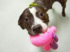 GONE Murdered RIP precious angel 04/01/15 Manhattan Center-P  My name is ROYALE. My Animal ID # is A1027359. I am a male bl brindle and white pit bull mix. The shelter thinks I am about 9 MONTHS old.   For more information on adopting from the NYC AC&C, or to  find a rescue to assist, please read the following: http://urgentpetsondeathrow.org/must-read/