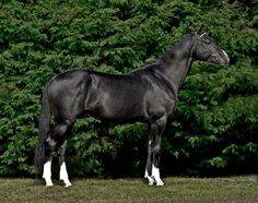 Witchking, 16.2hh Finnish Warmblood Stallion