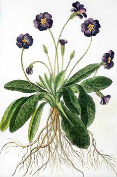 Ubertini and Bouchard: Primula. (1772-1793)