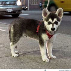 Mini Siberian Husky! HE wants a huge husky dog I want a little Pomeranian lol LETS SEE HOW HE LIKES THIS LOL!!!