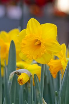 Dutch Master is the successor to long-time favorite King Alfred, and is now the most widely-grown daffodil in the world. Buy these award winning bulbs in bulk and save!
