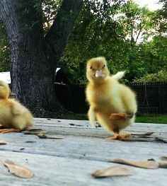 21 Ducklings To Fill Your Cuteness Quota Pet Ducks, Baby Ducks, Animals And Pets, Funny Animals, Cute Ducklings, Tier Fotos, Cute Birds, Cute Little Animals, Funny Cute
