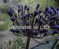 Agapanthus Back in Black Pépinière de l'Ile -- Ile de Bréhat