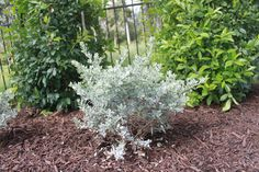 Texas Sage - This evergreen shrub needs full sun and is drought tolerant.  The soil needs to be well drained as well.  It has a beautiful light purple flower that some people say it is suppose to bloom right before it rains.  It can grow to be a little larger so it will usually need to pruned back.