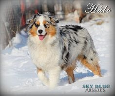 Sky Blue Aussies - Our Girls
