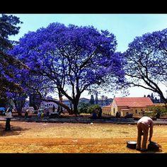 Jacaranda City! Harare Zimbabwe