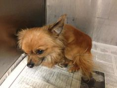 Angels Among Us Pet Rescue: URGENT!!! We are on our way to animal control now to get Antebellum, Yukon, and Alice, and this male long-haired Chi is there - he is only 4 pounds!! This picture says it all - he is petrified, heartbroken, sad. Please help us save him. www.facebook.com/photo.php?fbid=10151464212807912=a.272202117911.143112.271191497911=1_count=1=nf