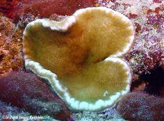 Cryptodendrum adhaevisum
