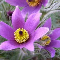 50+ Anemone Violet Flower Seeds , Under The Sun Seeds