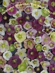Helleborus x hybridus Pine Knot Select Strain. Long Blooming Perennials, Garden Catalogs, Moon Garden, Garden Seeds, Lawn And Garden, Knots, Pine, Floral Wreath, Farms