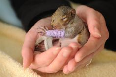 Cute baby squirrel wears tiny purple cast