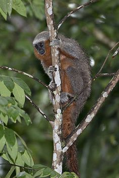 Monkey species discovered by WWF-Brazil expedition receives scientific description--Miltons' Titi (Callicebus miltoni)