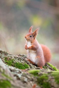 Credit: Alamy Rudely edged out of their own home by American grey squirrels, Britain's native reds are now only found at a few sites in England: notably Kielder Forest Park, which has a red squirrel reserve and education centre.