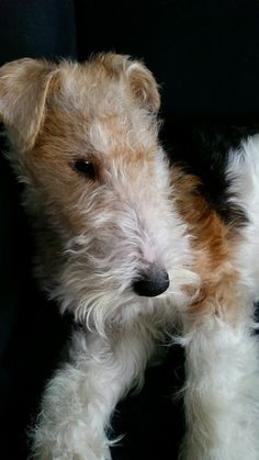 (◔◡◔) I know that look! Wirehair Fox Terriers -Ever interested in... you-name-it! ♥