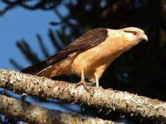 Carrapateiro (Milvago chimachima), eats ticks from big mammals