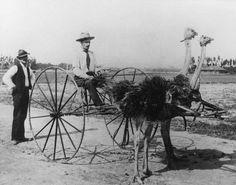 A light, ostrich-drawn carriage.